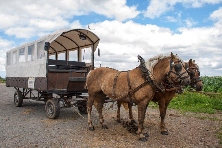 Paarden voor huifkar