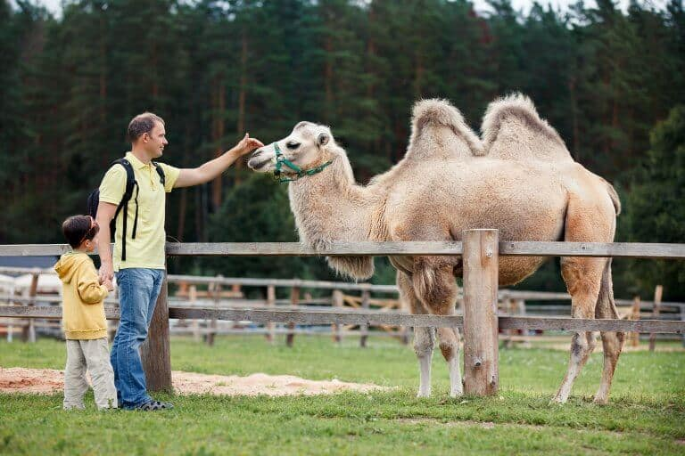 Vader en zoon bij kameel