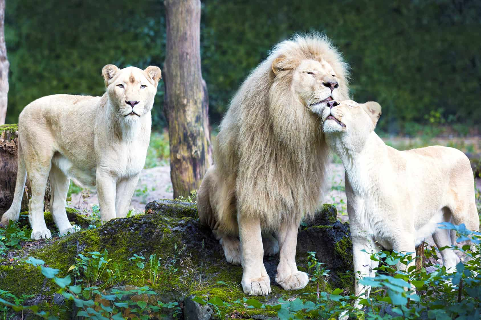 Afrikaanse leeuwen in Ouwehands Dierenpark