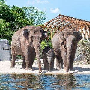 Aziatische olifanten Artis