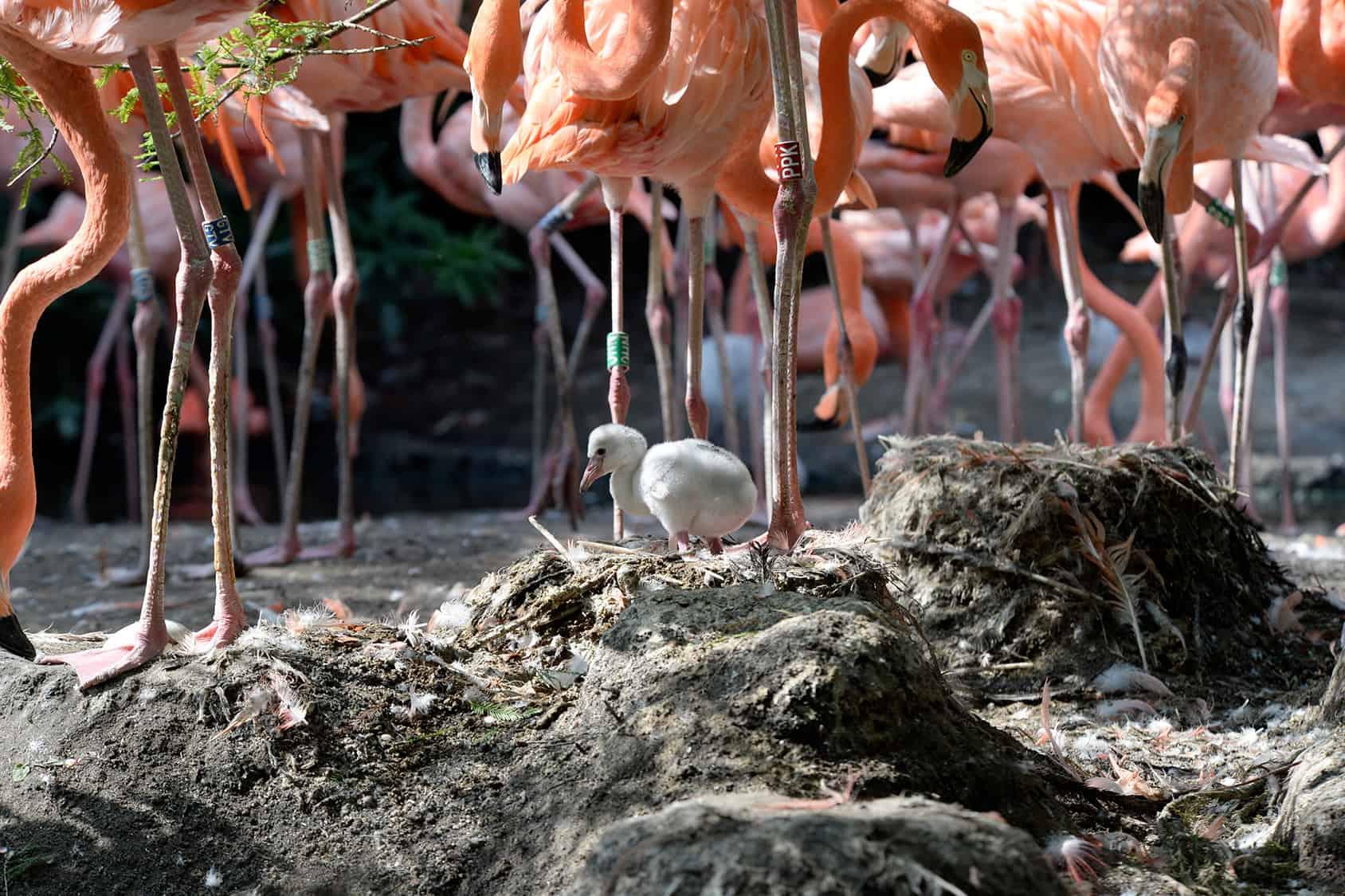 Flamingo jong Vogelpark Avifauna
