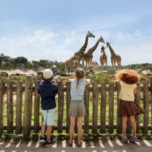 Giraffen Safaripark Beekse Bergen