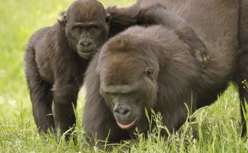 Gorilla's in Burgers's Zoo