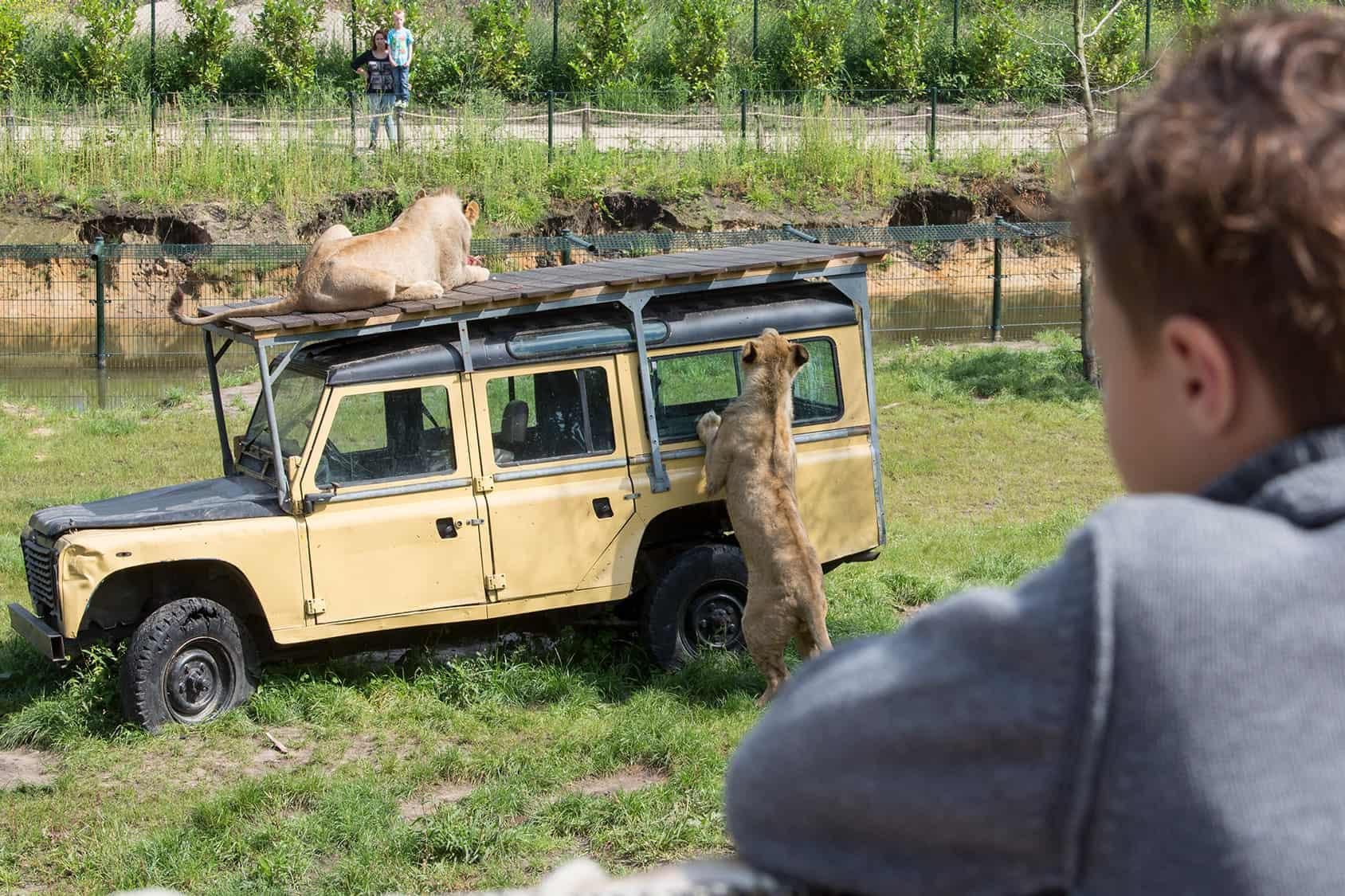 Leeuwen in ZooParc Overloon